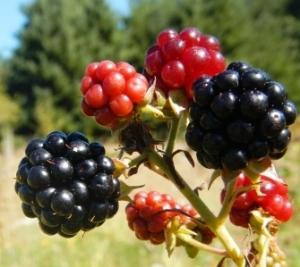 chester berries