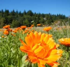 field of calendula