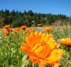 field of calendula